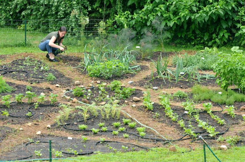 Mount Holyoke College alumna Jennie Bergeron works in the Tudor vegetable garden being developed at the Massachusetts Center for Interdisciplinary Renaissance Studies in Amherst. KEVIN GUTTING Purchase photo reprints »
